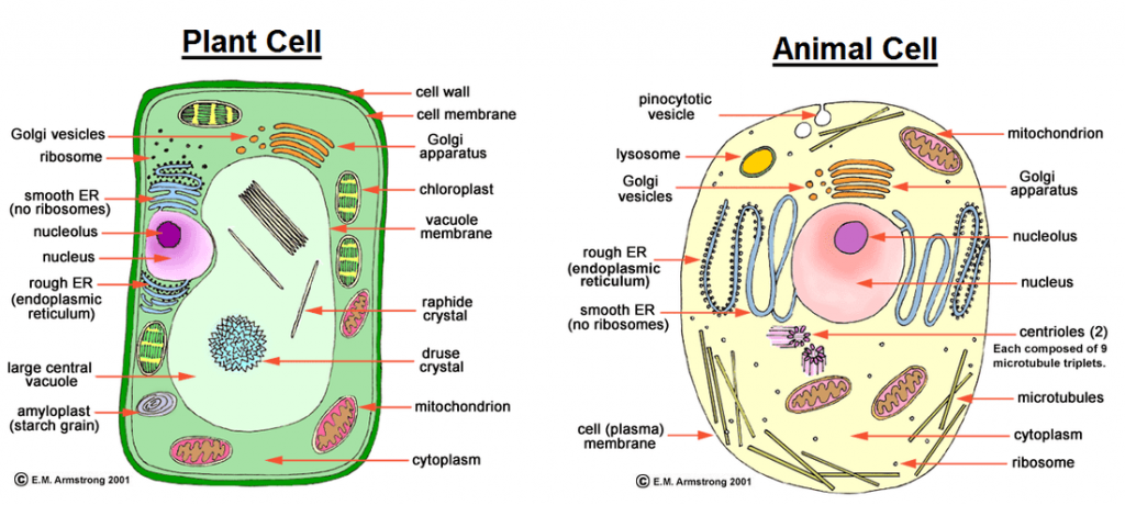 Comparison between plant cells and animal cells form 1 biology notes difference between animal cell and plant cell publicscrutiny Image collections