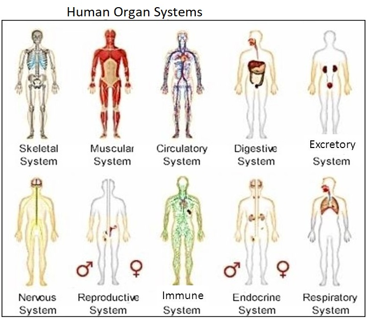 biology about com organ systems