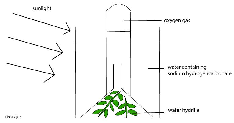 Experiment to investigate the gas produced during photosynthesis procedure ccuart Choice Image