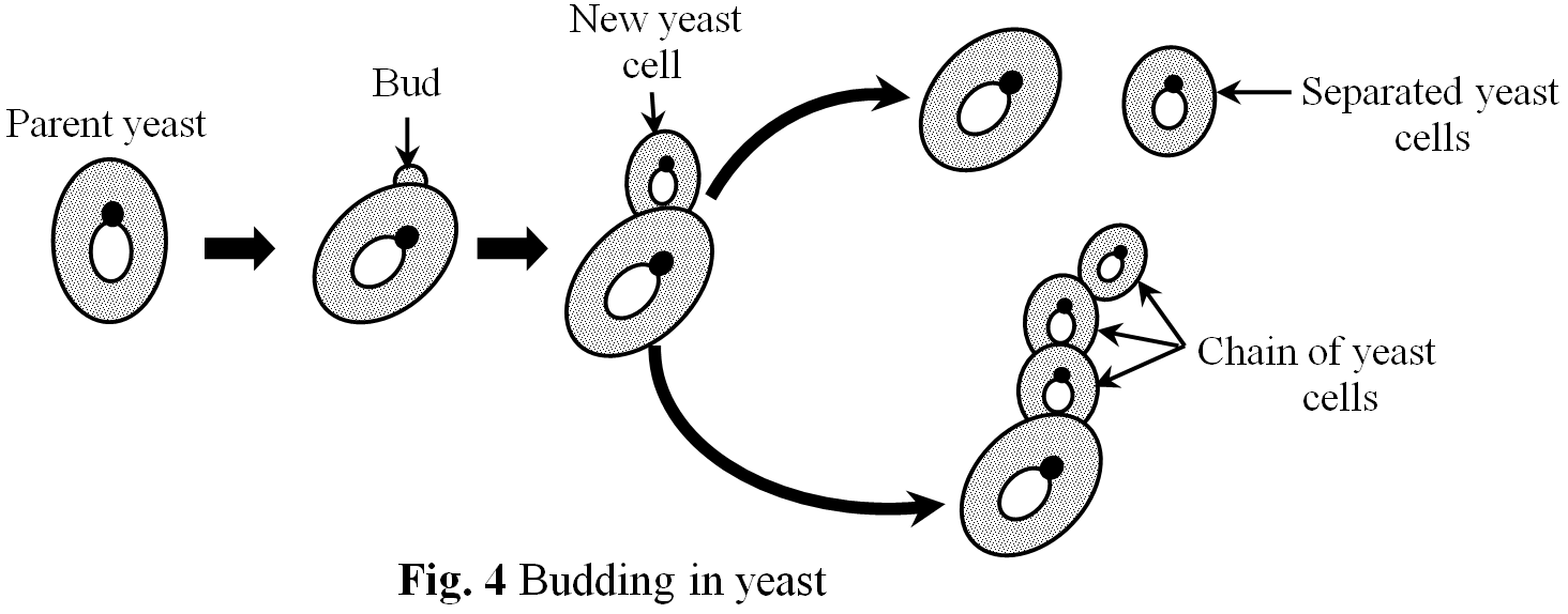 BuddingInYeast