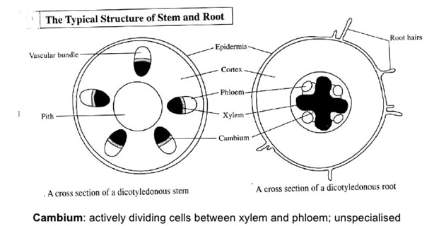 dicot stem and root