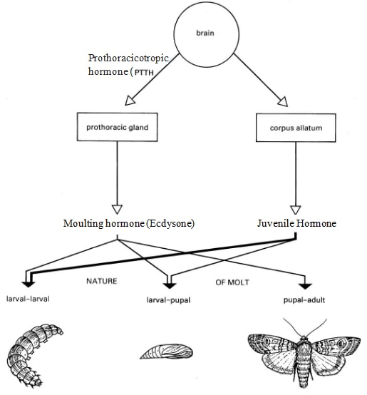 role of hormones in insects